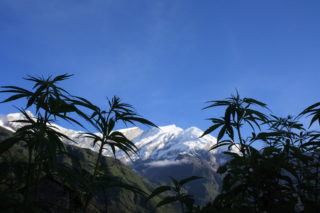 Cannabis_plants_in_front_of_the_Dhaulagiri_summit-320x213.jpg