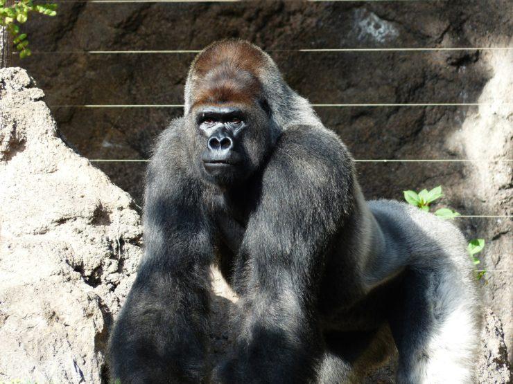 gorilla-406513_1920-740x555.jpg